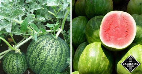 grow watermelon gardening channel