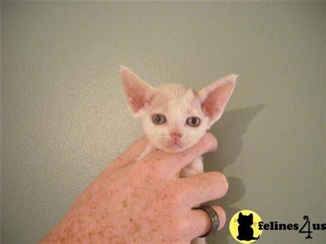 Devon Rex Kittens Available Now