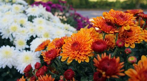mums flower when to plant mums plant mums in spring overwintering mums the old farmer s almanac