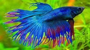 Betta Splendens Blue Exotic Fish 01