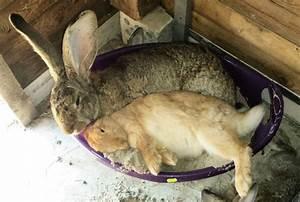 Was Ist Ein Widder : wie w scht man einen hasen tiere haustiere kaninchen ~ Eleganceandgraceweddings.com Haus und Dekorationen