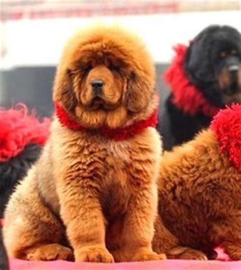 le chien et le chat les plus chers du monde