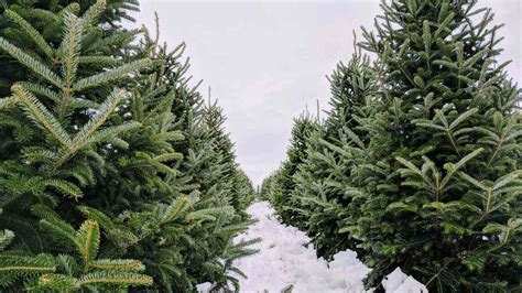 artificial christmas trees rochester ny 16 places to cut your own tree around rochester day trips from rochester ny