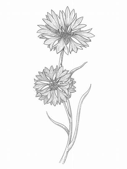 Cornflowers Sketch Behance