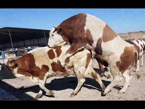 animal mating bull mating  mating animal breeding