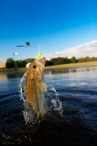 largemouth bass jumping   water stock photo