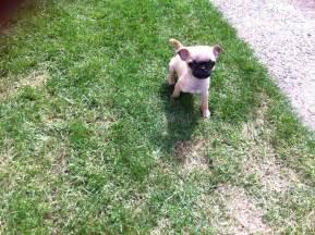 Chihuahua Pug Chug Puppies