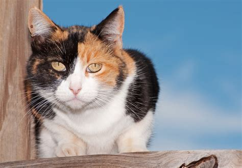 calico cats cat female calicos breed markings stubborn racist why stereotypes breeds catster