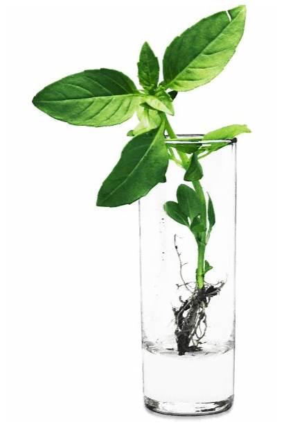 Water Basil Plants Indoor Grow
