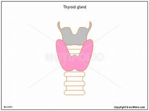 Thyroid Gland Illustrations