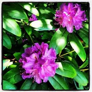 Rhododendron Blüht Nicht : rhododendron und er bl ht doch textblog ~ Frokenaadalensverden.com Haus und Dekorationen