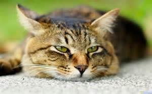Animal Lazy Cats