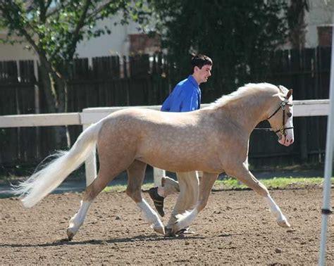 images  welsh pony  pinterest mardi gras
