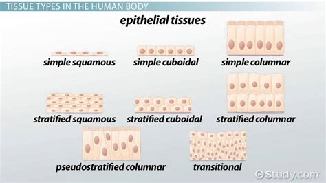Epithelial Layer Definition & Explanation Video