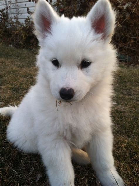 fluffy white puppy pictures   images