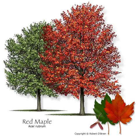 what type of maple tree do i why did southern plantation owners plant oaks along their entry drive askhistorians