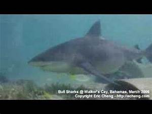Shark Video - tiger shark, great hammerhead, bull shark ...