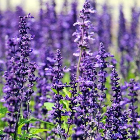 lavender soil ph what you need to know about growing lavender agriculture in zambia