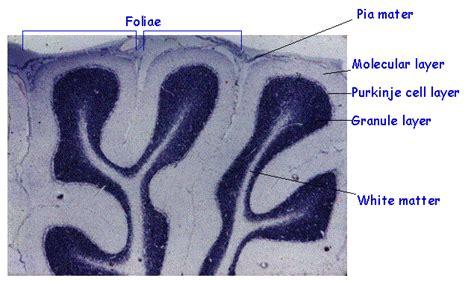 cytoarchitecture of the cerebellum