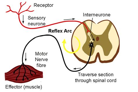 Diagram A Reflex Arc by The Reflex Arc Is The Cut Of Signals Through The Spine