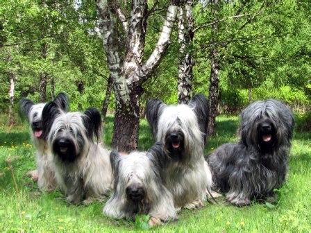 Vulnerable Dog Breeds Of The United Kingdom