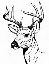 Deer Coloring Pages Hunting Buck Head Drawing Male Bucks Tailed Adults Animal Clipart Sharp Hartshorn Sun Printable Looking Clipartbest Clipartmag sketch template