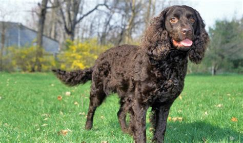 do spaniels shed spaniels that dont shed breeds picture
