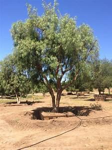 Inventry List Schinus Molle California Pepper Big Trees Nursery