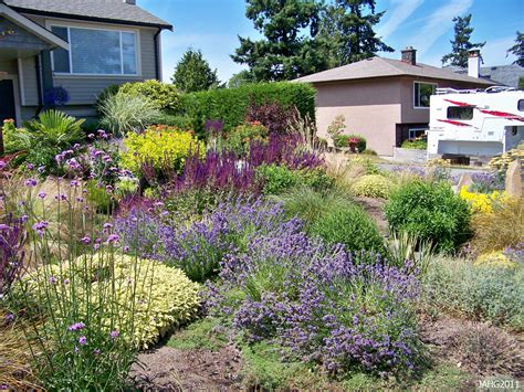 drought tolerant shrubs a contemporary west coast drought tolerant garden with hidcote lavender english as one of the