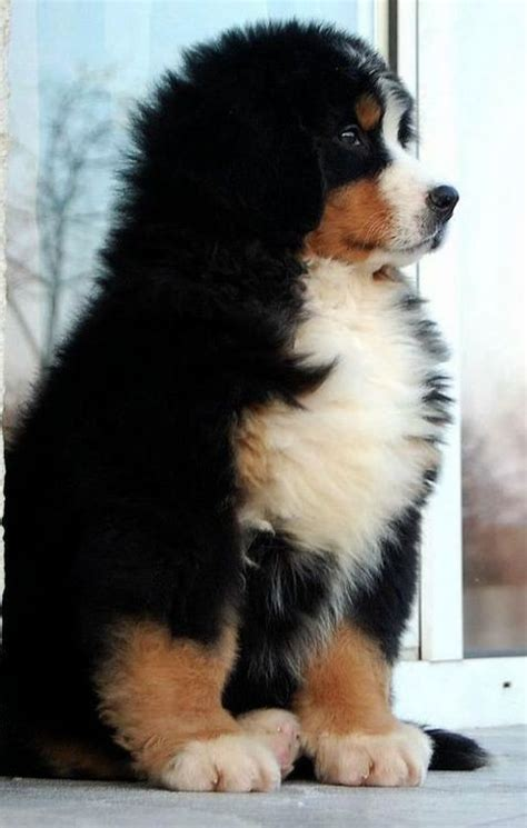 Best 25 Fluffy Puppies Ideas On Pinterest Cute Puppies