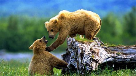 Animal Cubs Wallpapers - brown bears animals animals cubs alaska siberia