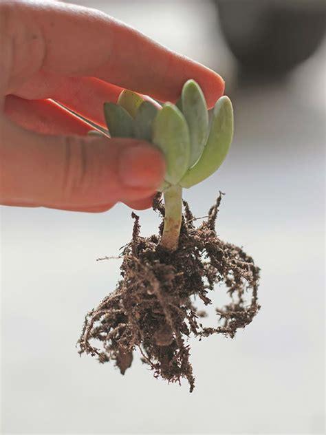 repot succulents worldofsucculents transplant replanting mix sand succulent repotting cactus dirt growing