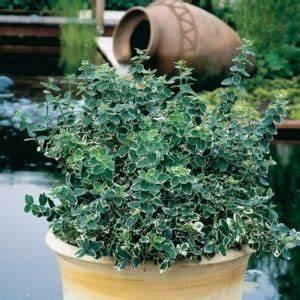 Arbuste Persistant En Pot : plante fleurie pour pot exterieur gallery of pot en ~ Premium-room.com Idées de Décoration