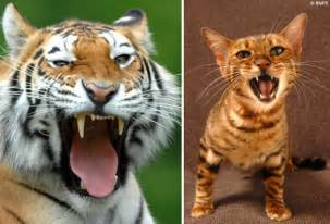 tiger cat meet the toyger the must designer cat that s been