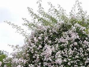Comment Tailler Les Rosiers : comment tailler les rosiers ~ Nature-et-papiers.com Idées de Décoration