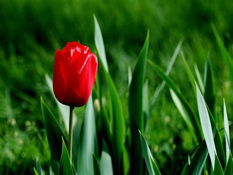 Tulip Picture Hd by Tulip Wallpaper Hd Wallpapers Pulse