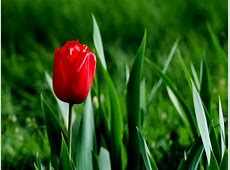 Red Tulip Wallpaper HD Wallpapers Pulse