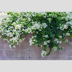 Flowering Vines Top 10 Best Flowering Climbing Plants