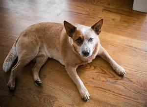 Pancreatic Cancer  Insulinoma  In Dogs