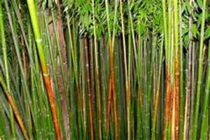 Wie Schnell Wächst Bambus : bambus schneiden wann wie oft ist das sinnvoll ~ Frokenaadalensverden.com Haus und Dekorationen