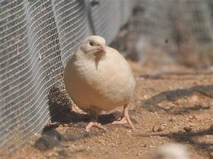 The Online Zoo - Japanese Quail