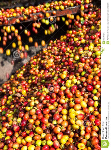 coffee cherry stock images image