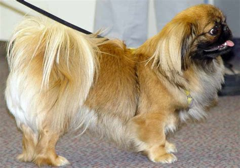 pekingese info temperament mixes lifespan puppies