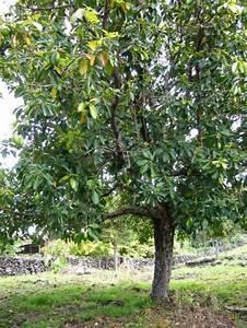Avocado Baum Pflege : die besten 25 avocado baum ideen auf pinterest avocado pflanze wachsende avocado und ~ Orissabook.com Haus und Dekorationen