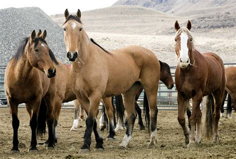 wild horses blm slaughter nevada horse stop omnibus lead bill campaign american act wants action captured thousands could animal burros
