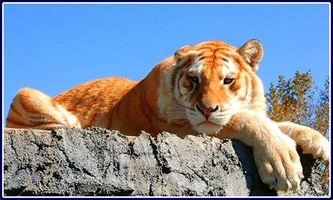 Best Color Phase Tigeresque Images Pinterest Big