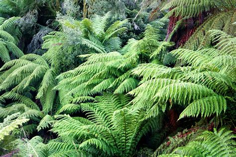 ferns species how to feed tree ferns the garden of eaden