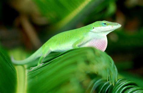 green anole edupic lizard images