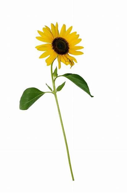 Sunflower Single Jooinn