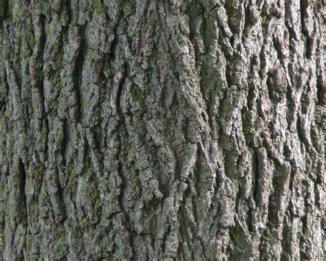 file black walnut bark detail jpg